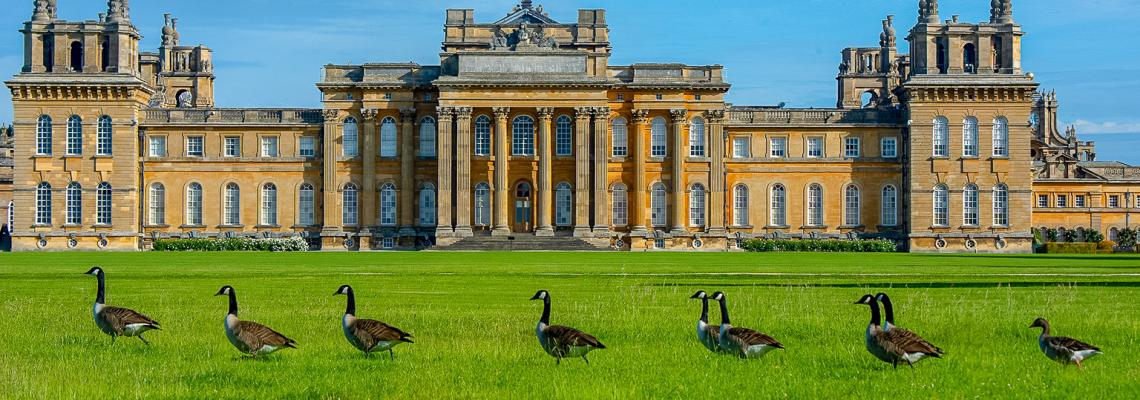 geese-blenheim-palace-oxfordshire-days-out.c96a6a21a0e5c55a47ea1f0f4fd17808