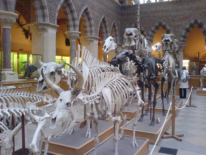 Skeletons at Pitt Rivers